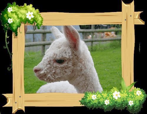 alpaca_frame