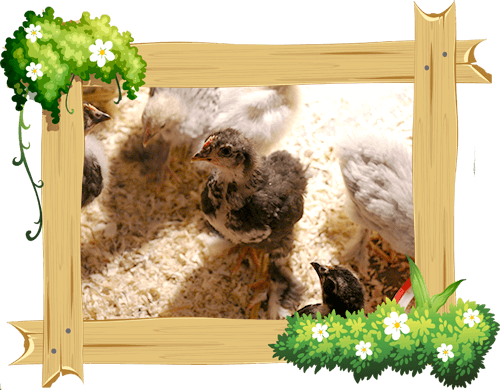 chicks_frame