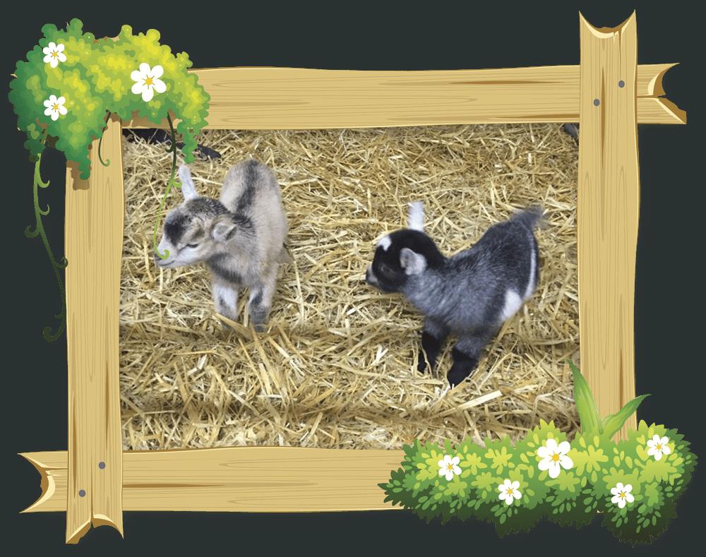 frame_goat3