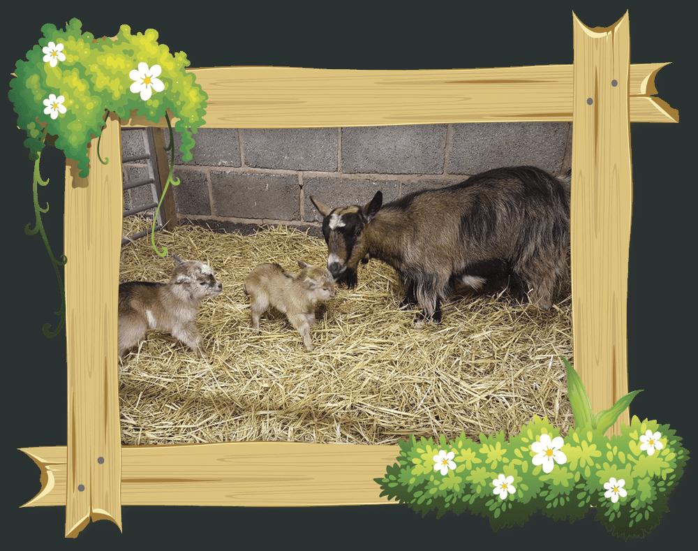 frame_goat4