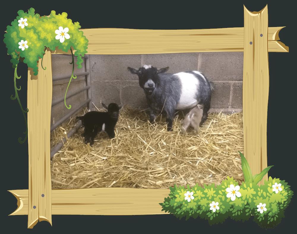 frame_goat6