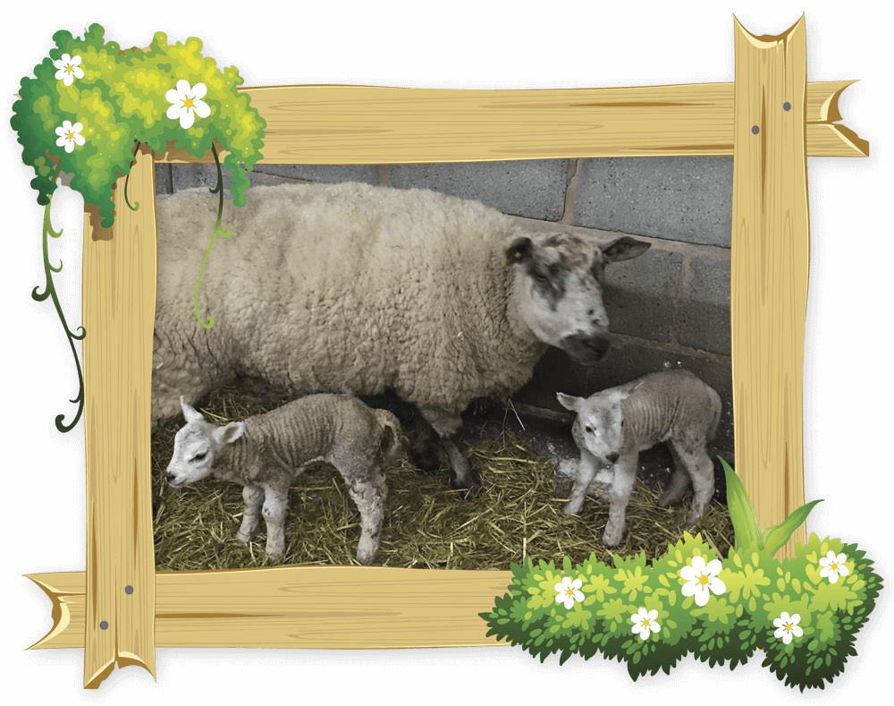 frame_lambs_1