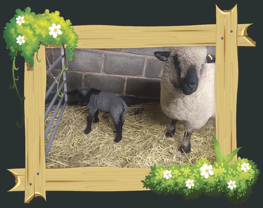 frame_lambs_2