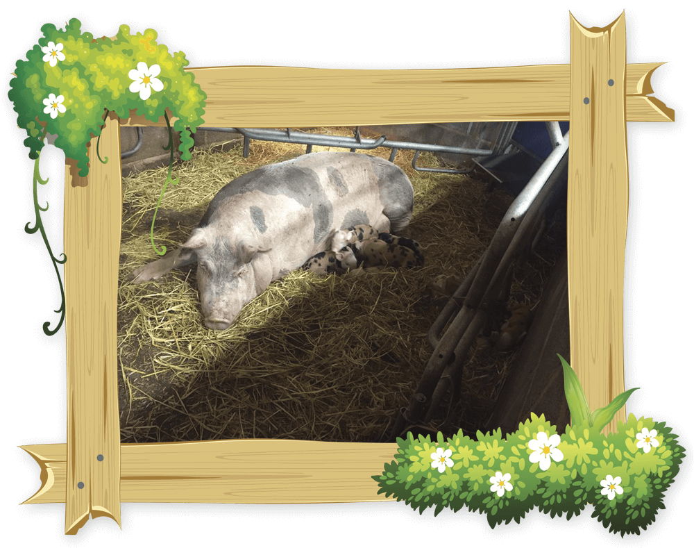 frame_pig1